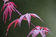Wet leaves of Japanese Maple - MPAF00062