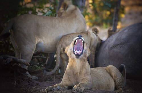 Botswana, Chobe National Park, Young lion roaring while pack is eating prey - MPAF00064