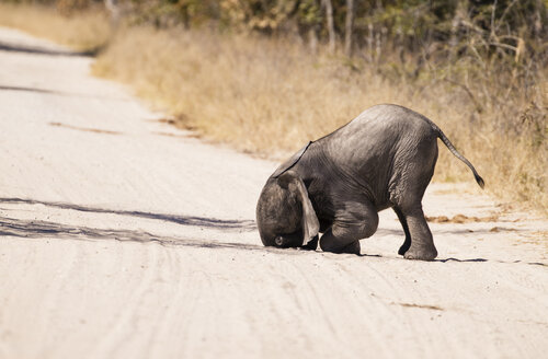 Simbabwe, Hwabge National Park, Baby elephant playing in the sand - MPAF00069