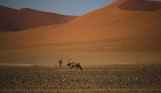 Namibia, Oryx antelope walking in Namib desert - MPAF00072