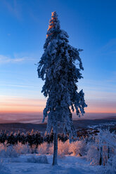 Germany, Hesse, Taunus mountains, Snow covered tree in morning light - MPAF00073