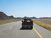 Oman, Sinaw, dromedary on pick-up truck - AMF05049