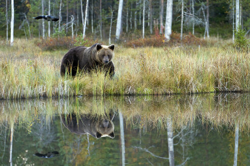 Finland, Kuhmo, Kainuu, brown bear at a lake - ZC00436