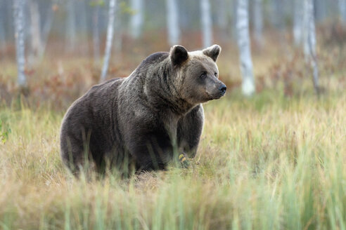 Finland, Kuhmo, Kainuu, male brown bear - ZC00439