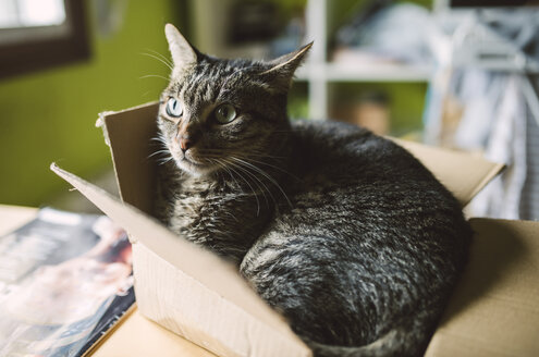 Tabby cat inside a small carboard box at home - RAEF01533