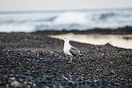 Spain, Tenerife, seagulll on Las Americas beach - SIPF00997