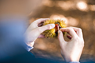 Woman's hands opening peel of sweet chestnut, close-up - DIGF01407