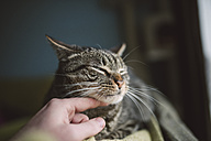 Hand of man stroking tabby cat - RAEF01538