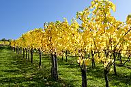 Grape vines in autumn - CSF27840