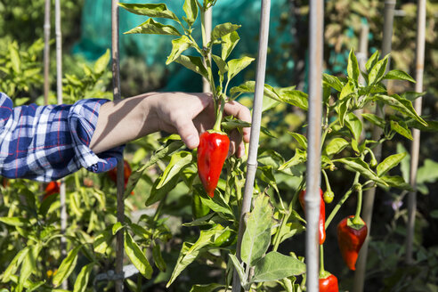 Hand of woman plucking red capsicum - ABZF01516