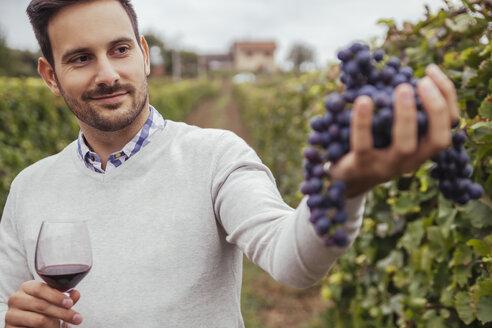 Smiling man in a vineyard checking grapes - ZEDF00438