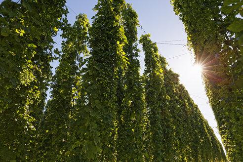 Hop garden in backlight - SIEF07138
