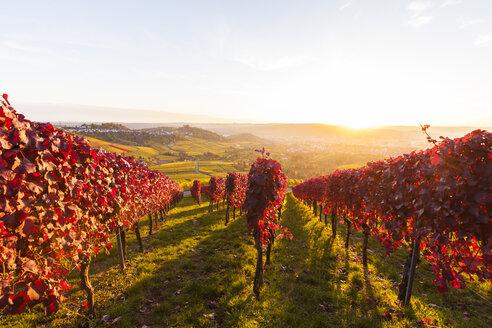 Germany, Stuttgart-Rotenberg, Autumnal vinyards - WDF03793