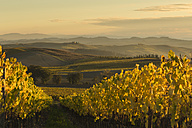 Italy, Tuscany, Val d'Orcia, rolling landscape with vineyard - FCF01139
