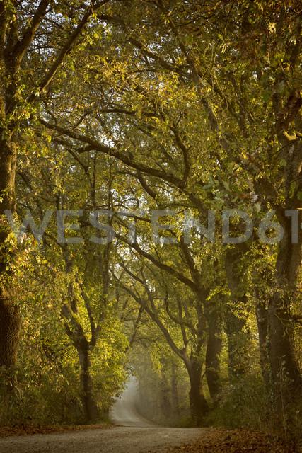 Italy, Tuscany, Val d'Orcia, tree-lined road - FCF01142