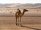 Oman, Al Raka, Dromedary standing in Rimal Al Wahiba desert - AMF05080