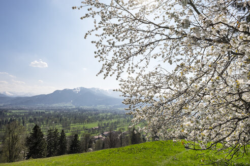 Germany, Isarwinkel, blossoming cherry tree at Sonntraten - SIEF07161