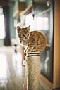 Tabby kitten sitting on the top of scratching post at home - RAEF01583