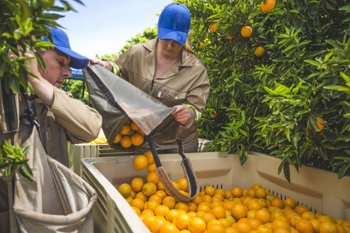 Farm workers on plantation plucking oranges - ZEF11785