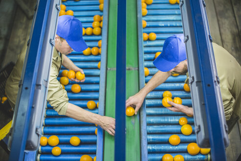 Workers on orange farm picking oranges from conveyor belt - ZEF11809