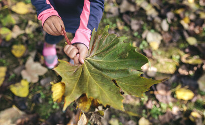 Girl's hands holding autumn leaf - DAPF00474