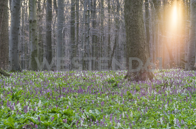 Germany, Hainich National Park, blossoming hollowroot - PVCF00952