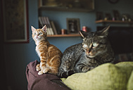Ginger kitten and tabby cat on top of a couch - RAEF01586