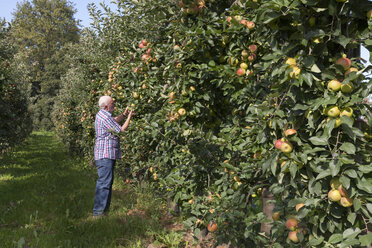 Senior man examining fruits on an apple plantation - WIF03381