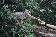Morocco, Meknes-Tafilalet, Ifrane National Park, tourist feeding Barbary monkey - KIJF00988