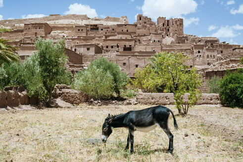 Morocco, Ouarzazate, donkey grazing in front of the city - KIJF01006