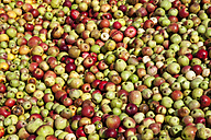 Windfall apples, full frame - CSF27854