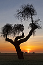 Spain, Province of Zamora, tree on field in Lagunas de Villafafila Reserve - DSGF01213