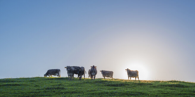 Germany, Allgaeu, seven brown cattles standing on pasture at backlight - WGF01006