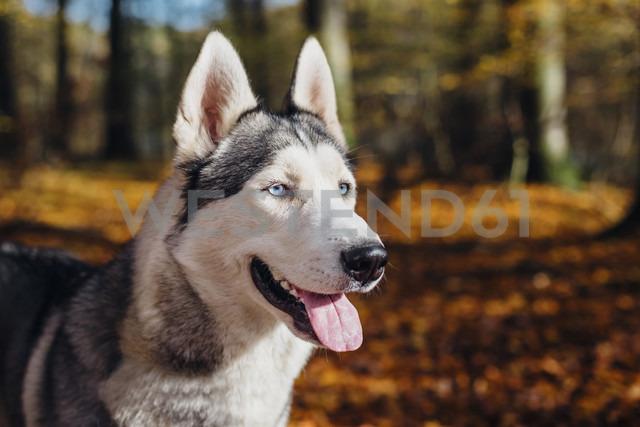 Siberian Husky in forest - MJF02090