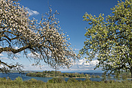 Germany, Litzelstetten, Lake Constance, blossoming trees and view to Island Mainau - SHF01924