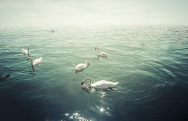 Group of mute swans on lake at backlight - KRPF02068