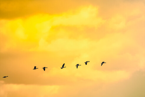 Flying geese at sunset - KRPF02074