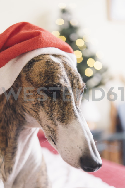 Portrait of Greyhound wearing Christmas cap - SKCF00234