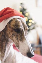 Portrait of Greyhound wearing Christmas cap - SKCF00234