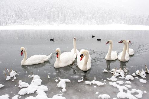 Austria, Kleinarl, group of mute swans on Jaegersee in winter - HHF05479