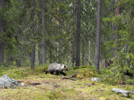 Finland, Kainuu, young brown bear - ZC00447