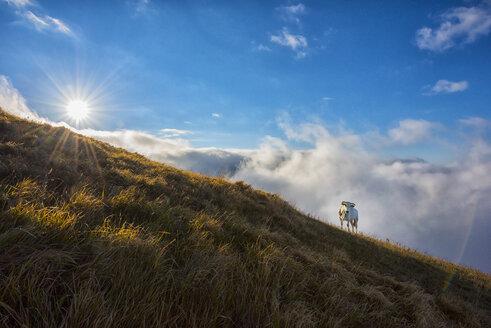 Italy, Umbria, cow on Monte Motette at sunrise - LOMF00458