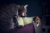 Kitten and adult cat playing on the top of a couch at home - RAEF01602