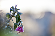 Frost-covered geranium - FRF00490