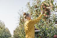 Young woman harvesting apples - KNSF00718