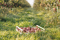 Crate with apples in orchard - KNSF00727