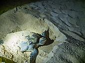 Oman, Ash Shirayjah, Ad Daffah, hawksbill turtle preparing for laying eggs on the beach by night - AMF05151