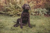 Labrador Retriever puppy sitting in garden - MFF03400