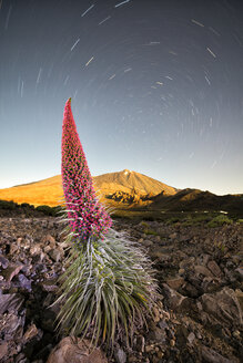 Spain, Canary Islands, Tenerife, Teide National Park, Mount Teide, Echium Wildpretii - DSG01394