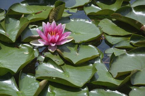 Pink water lily - AXF00787